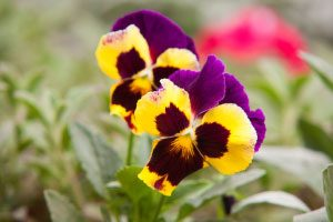 Top 5 spring flowers for your garden nichols reliable lawn care looked at your yard and wished you could do more to bring your lawn to life spring flowers add the perfect amount of color and vivacity to any home mightylinksfo