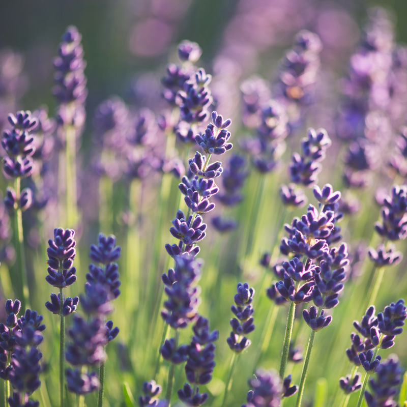 lavender summer lawn flowers