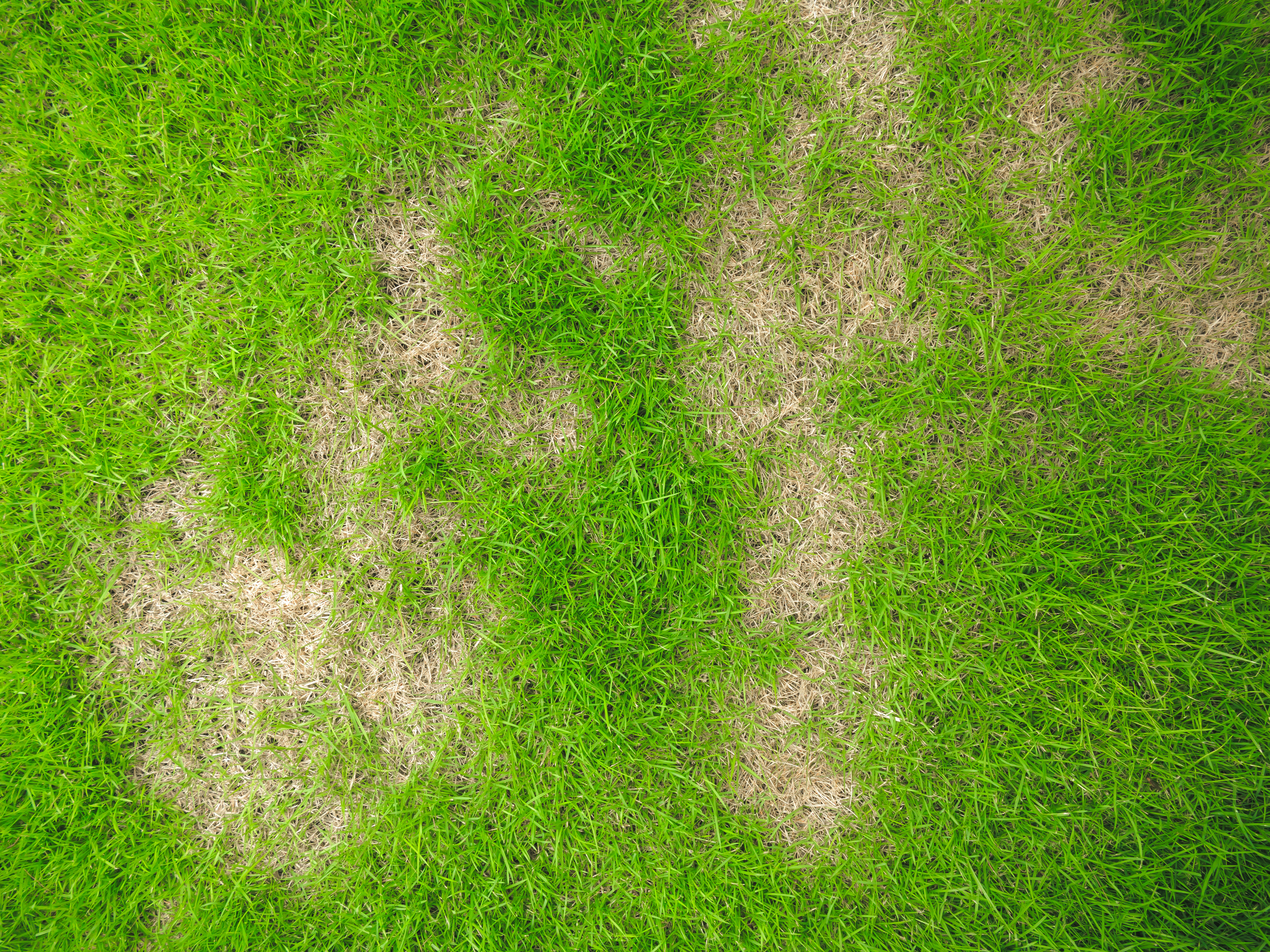 lawn pests, common lawn pests, lawn care, yard help, yard tips, dead grass, brown spots on grass