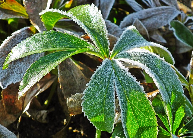 frost, freeze warning, plants, shrubs, lawn care tip